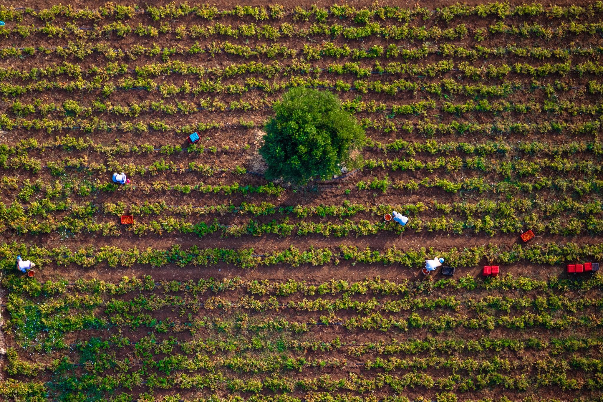 Campagna coltivata a pomodoro