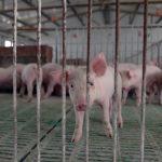 Qual è il vero prezzo del cibo che mangiamo? Nell'immagine, maialini in un allevamento intensivo.
