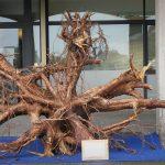 La radice di uno degli alberi abbattuti in Veneto esposta davanti alla sede di Confartigianato di Belluno