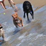 COVID-19 e cani: tre cani corrono sulla Dog Beach di San Vincenzo, che non ha risentito molto della pandemia.
