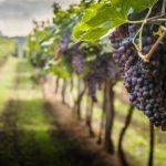 La vendemmia dell'annata 2020 in Puglia: grappoli di uva nera sulla vigna.