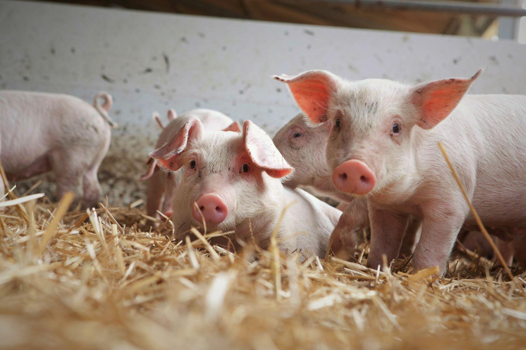 Allevamenti e benessere animale: non dev'essere per forza un macello
