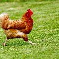 Un gallo impettito scorrazza su un prato.