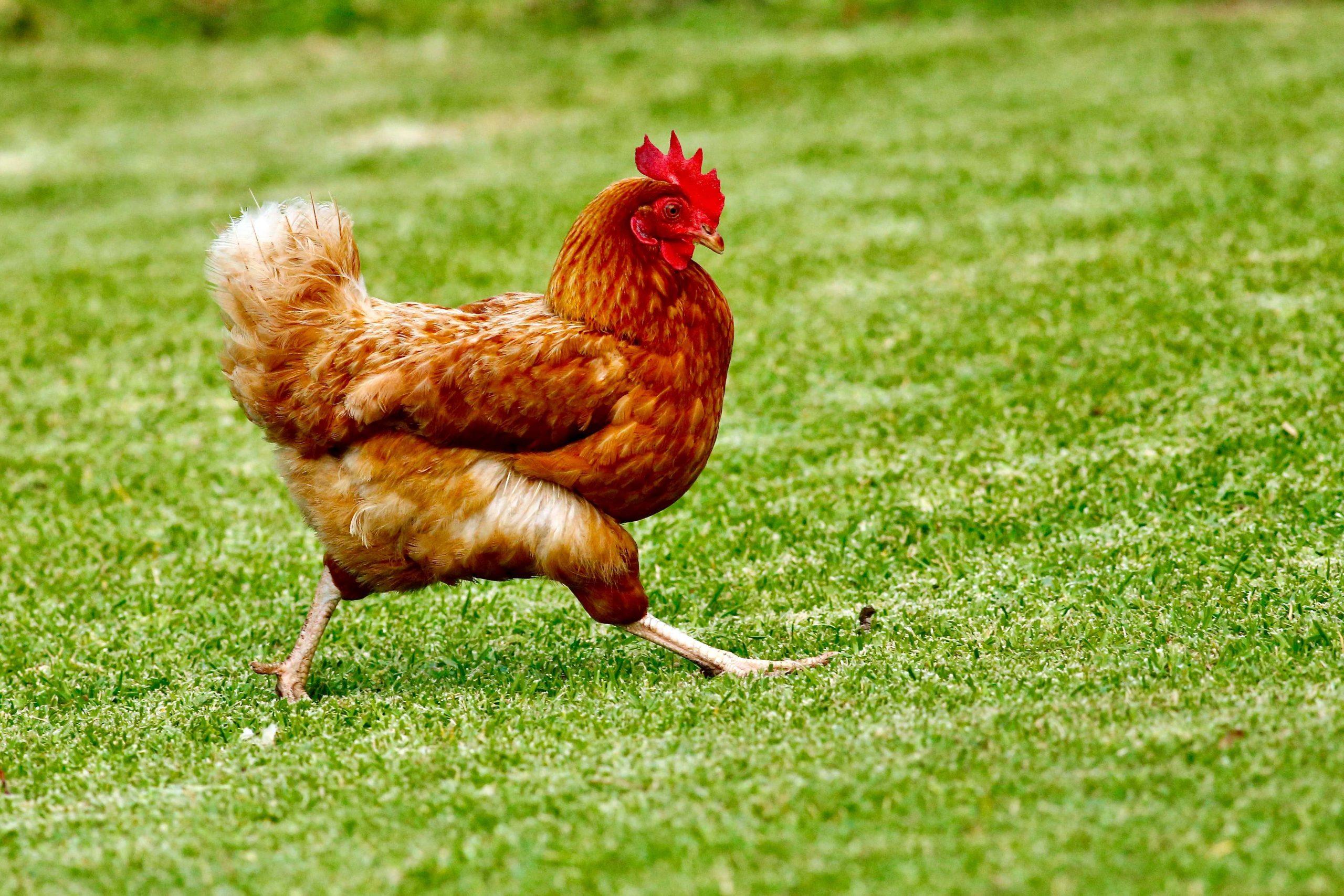 Marche, Fileni alleva milioni di polli. Ma la sveglia la cantano gli attivisti